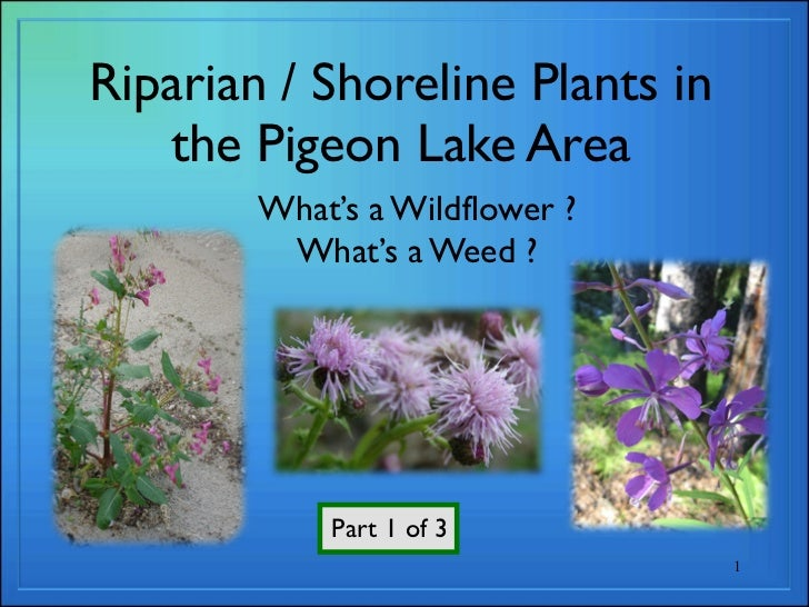 Riparian / Shoreline Plants in   the Pigeon Lake Area        What's a Wildflower ?         What's a Weed ?            Part...