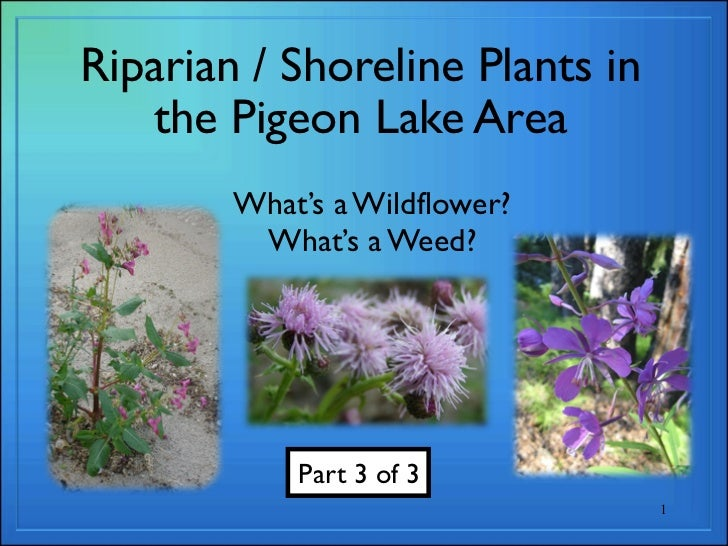 Riparian / Shoreline Plants in   the Pigeon Lake Area        What's a Wildflower?         What's a Weed?            Part 3...