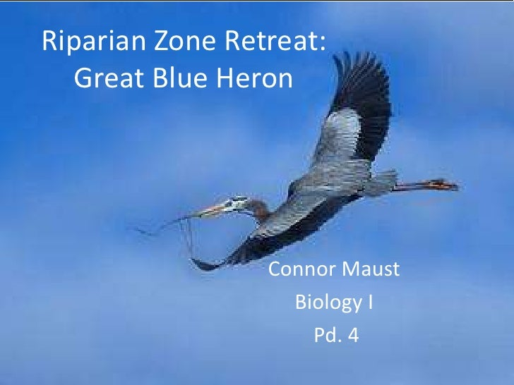 Riparian Zone Retreat:Great Blue Heron<br />Connor Maust<br />Biology I<br /> Pd. 4<br />