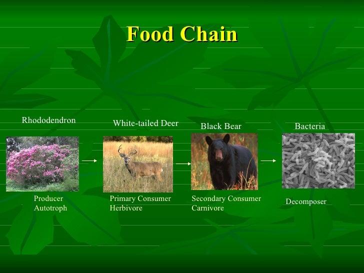 A Black Bear S Food Chain
