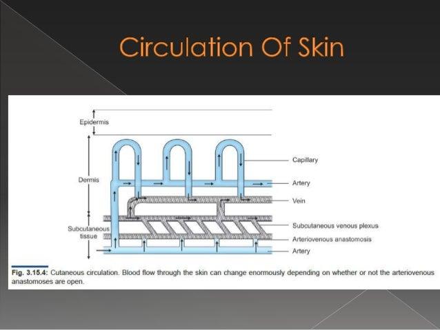 Cutaneous circulation & splanchnic circulation