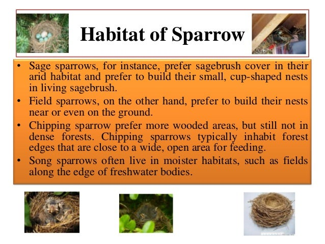 Eating Habits • Sparrows Eat Mostly – Grains – Seeds, – Livestock Feed – Corn, – Oats, – Wheat – Sorghum. – Wild Foods Inc...