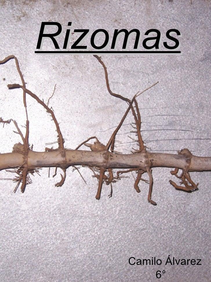 Rizomas Camilo Álvarez  6° Agronomía