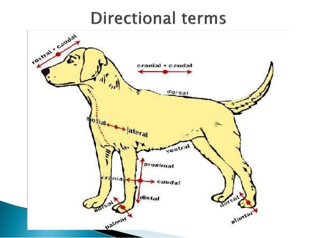 Ventral Dorsal Dog Cat Drawings
