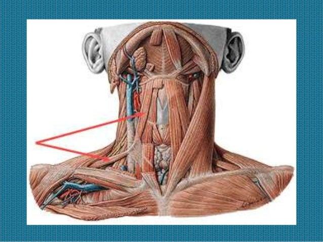 M sculos de la masticaci n for Esternohioideo y esternotiroideo