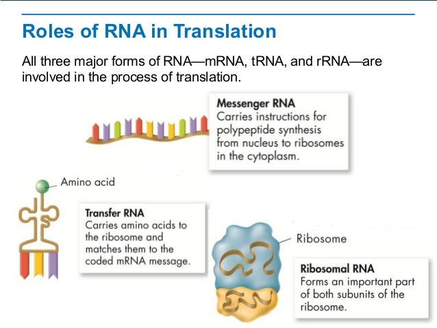 Rna protein-synthesis