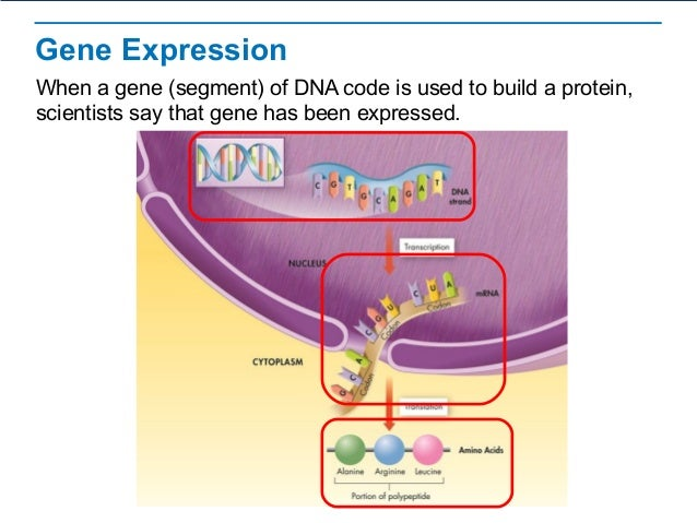 rna splicing protein synthesis regulation In eukaryotic cells, rna synthesis, which occurs in the nucleus, is separated from the protein synthesis machinery, which is in the cytoplasm in addition, eukaryotic genes have introns, noncoding regions that interrupt the gene.