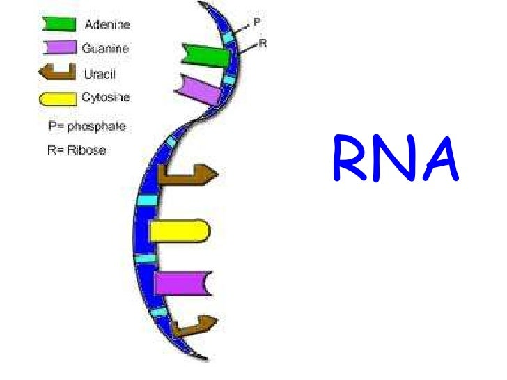 more about rna What this means, on the face of it, is that even if gene a produces more rna than  gene b, then it may be the case that there is more protein b.