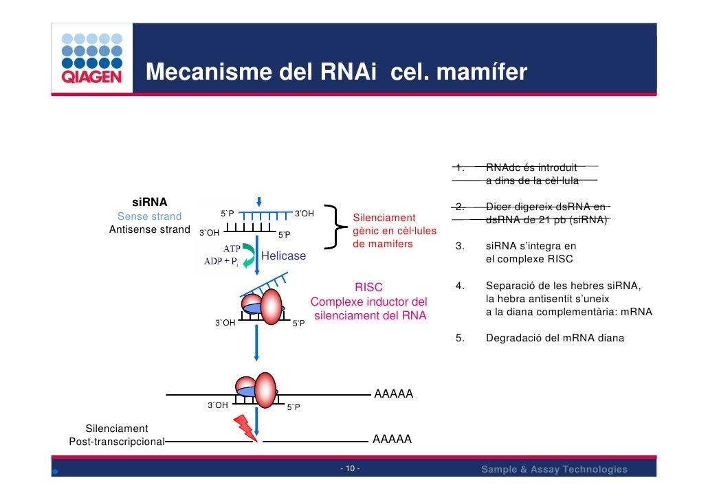 Mecanisme del RNAi cel. mamífer                                                                               ds RNA      ...