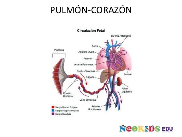 PULMÓN-CORAZÓN