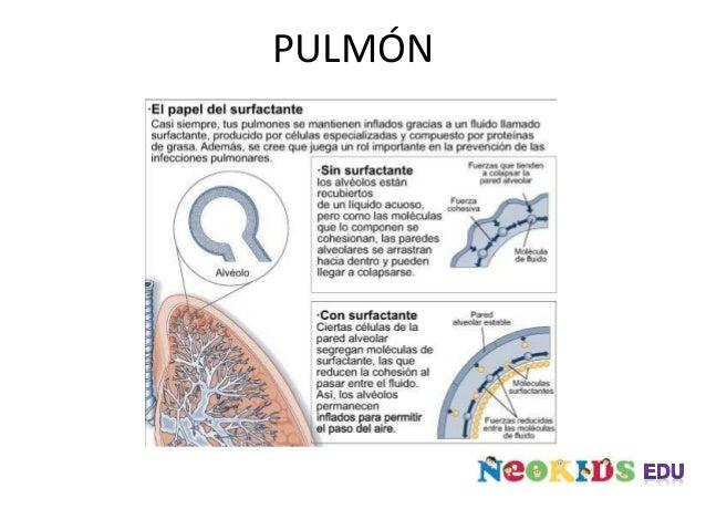 PULMÓN