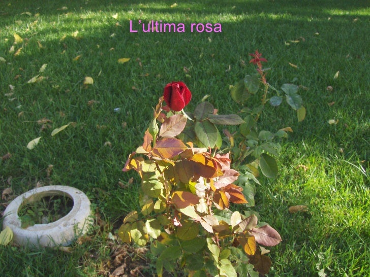 L'ultima rosa