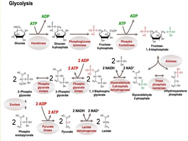 ciclo de krebs proceso anabolico y catabolico