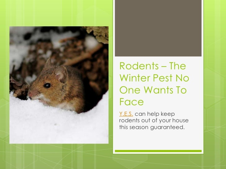 Rodents – TheWinter Pest NoOne Wants ToFaceY.E.S. can help keeprodents out of your housethis season guaranteed.