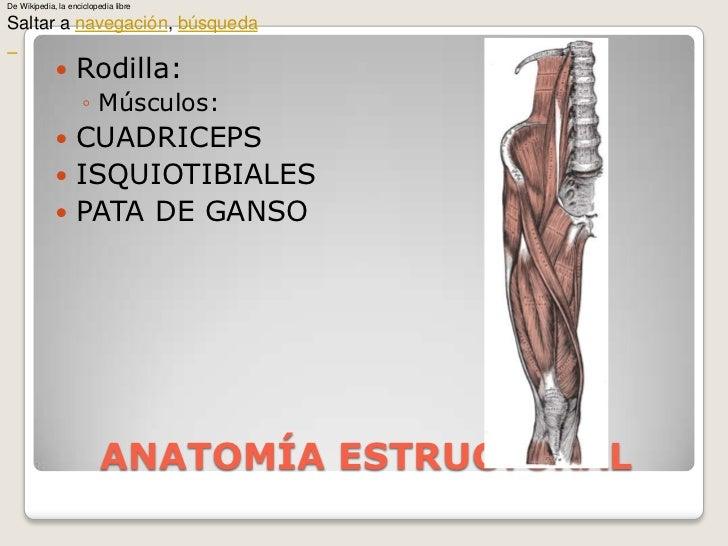 ANATOMÍA ESTRUCTURAL<br />Rodilla:<br />Músculos:<br />CUADRICEPS<br />ISQUIOTIBIALES<br />PATA DE GANSO<br />De Wikipedia...
