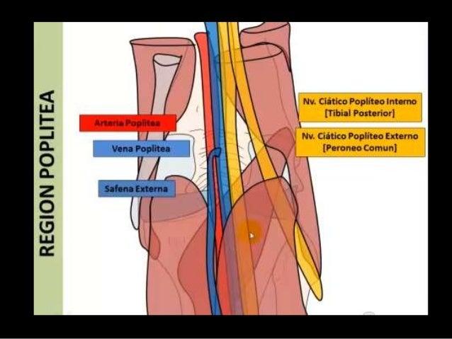 Rodilla Anatomía