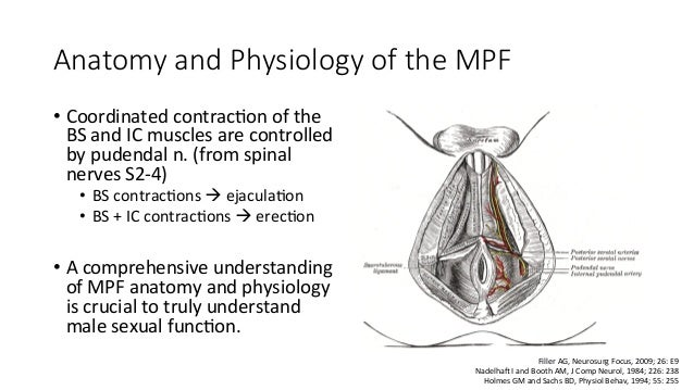 The mechanics of malr sexual function