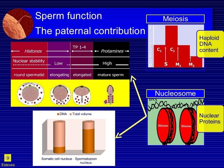 Esteves Sperm function  The paternal contribution
