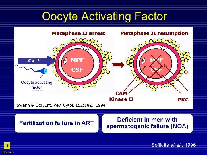 Oocyte Activating Factor Sofikitis  et al ., 1996 Esteves Oocyte activating  factor