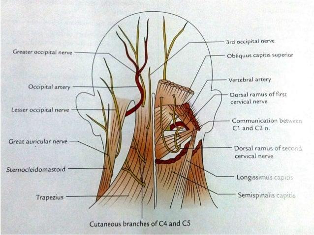 Back Of Neck Sub Occipital Triangle