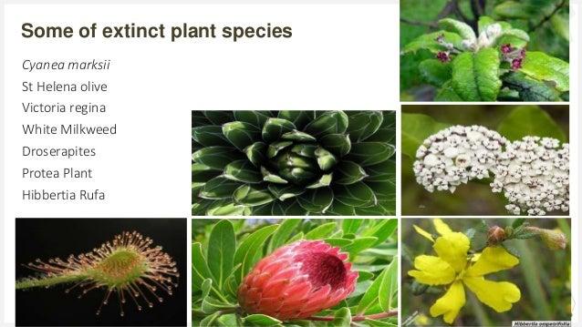 Your Logo or Name Here Some of extinct plant species 20 Cyanea marksii St Helena olive Victoria regina White Milkweed Dros...