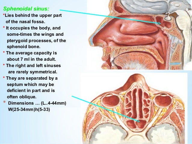 Sphenoid Sinus Anatomy Top 10 The Awesome Web With Sphenoid Sinus ...
