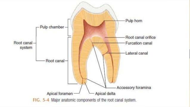 Root Canal Anatomy