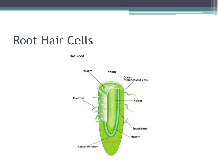 Root hair cells and water transport root hair cellsbr 9 publicscrutiny Choice Image