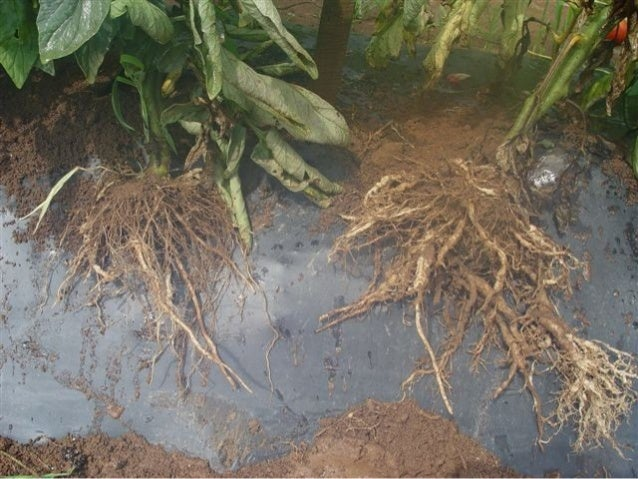 Root knot disease of tomato