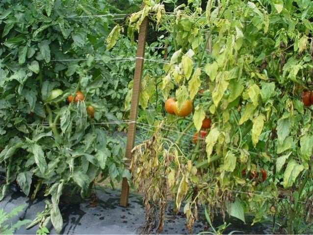 Disease Management • Selection of field • Field sanitation • Crop rotation of 2-3 years • Deep ploughing • Flooding • Orga...