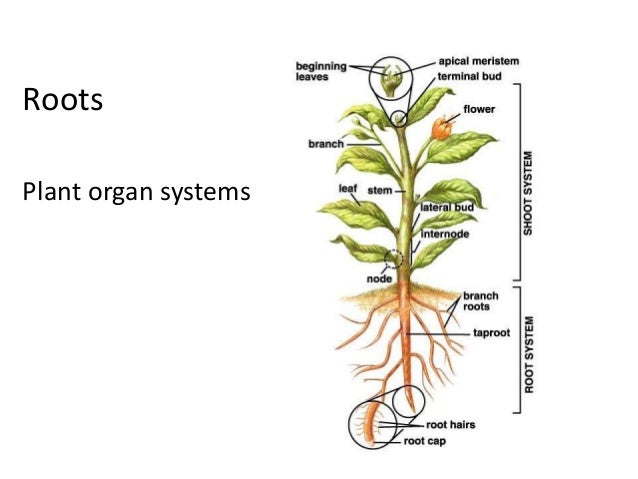 Roots  Plant organ systems