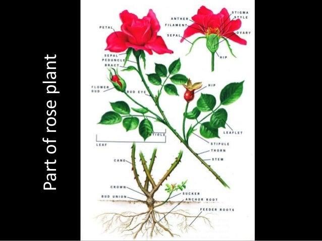 Rose flower's Description - Deskripsi Bunga Mawar