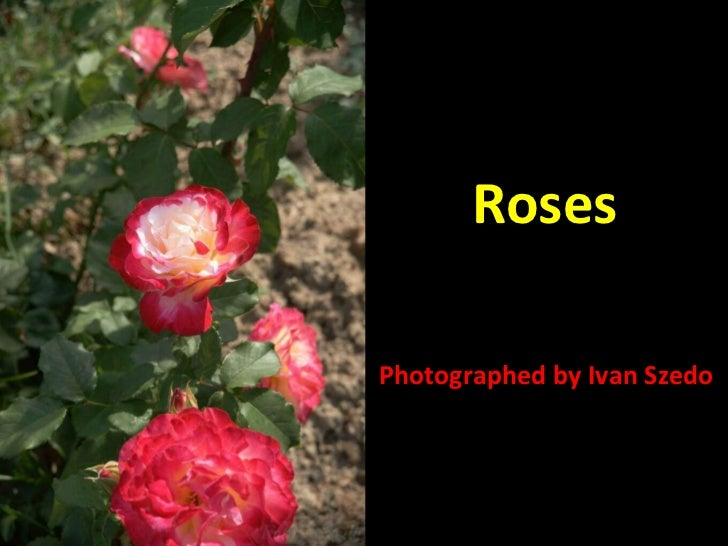Roses Photographed by Ivan Szedo