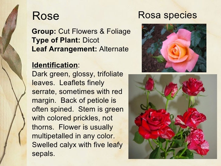 Rose Group:  Cut Flowers & Foliage Type of Plant:  Dicot Leaf Arrangement:  Alternate Identification : Dark green, glossy,...