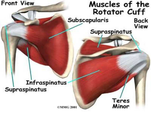 rotator cuff muscles, Muscles