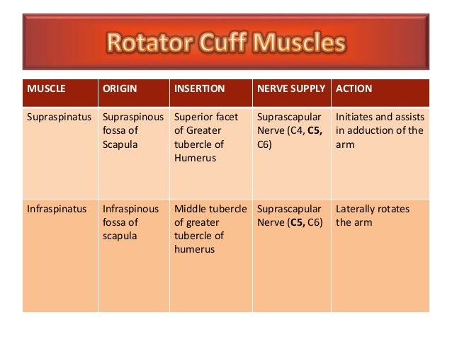 Rotator Cuff Muscles on upper arm blood supply