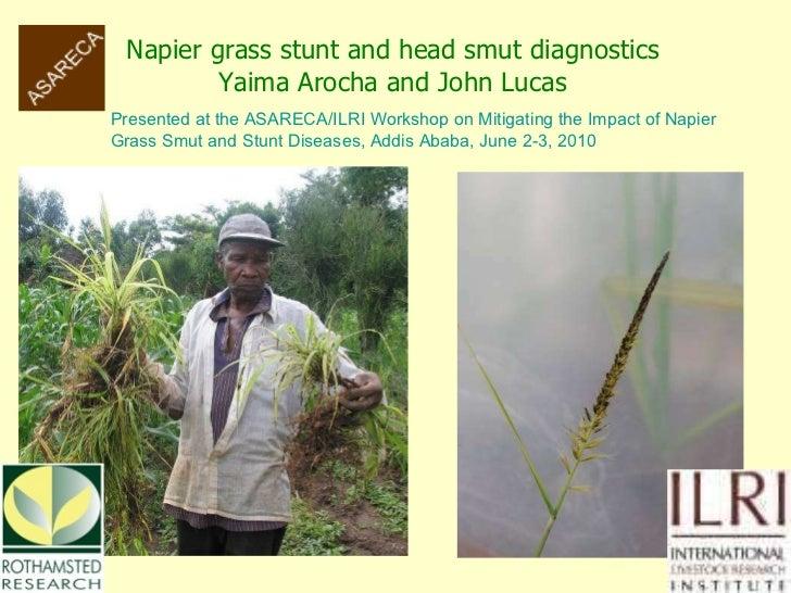 Napier grass stunt and head smut diagnostics Yaima Arocha and John Lucas Presented at the ASARECA/ILRI Workshop on Mitigat...