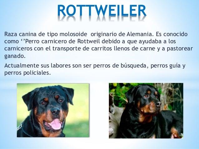 Raza canina de tipo molosoide originario de Alemania. Es conocido como ''Perro carnicero de Rottweil debido a que ayudaba ...