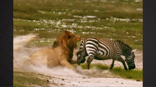 Pra você, qual animal vale mais a pena ser: o leão ou a zebra? D I N Á M I C A 1