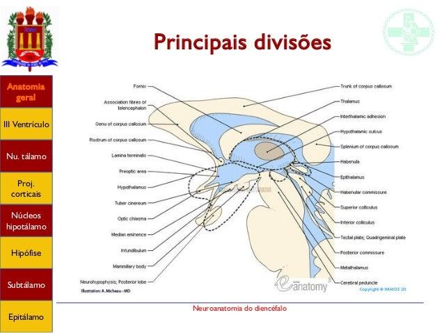 Anatomia do diencéfalo