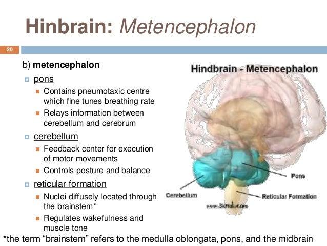 Metencephalon Gallery