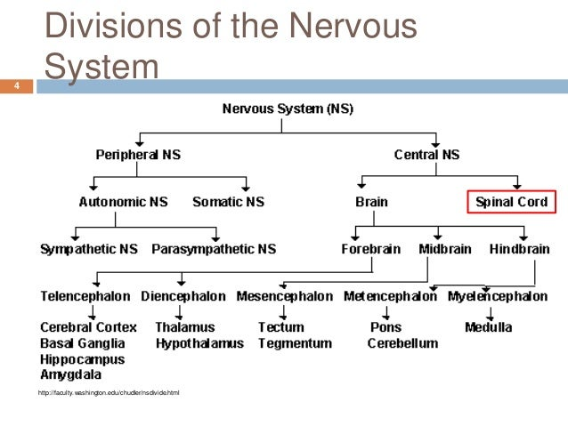an analysis of the three divisions of the nervous system Three correspond to the the parasympathetic division of the autonomic nervous system is named because its central neurons are located on either side of.