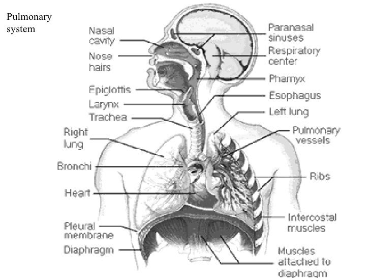 Respiratory System(RS) Pulmonary system