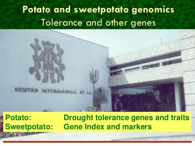 Potato and sweetpotato genomics Tolerance and other genes Potato: Drought tolerance genes and traits Sweetpotato: Gene Ind...