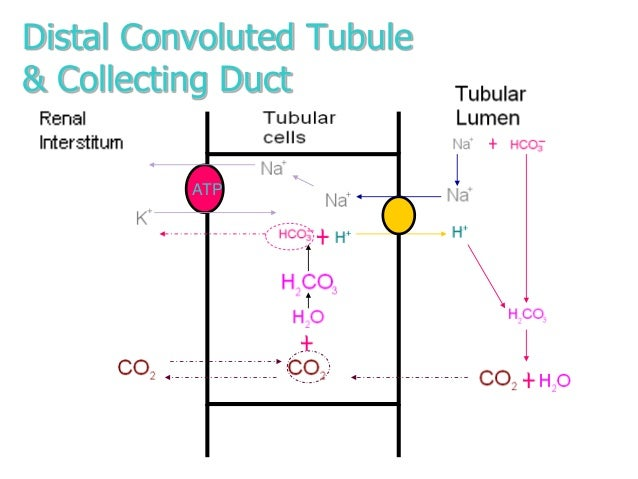 tubular function Video: the renal tubule: definition, function & terms renal tubules are essential structures in the kidneys this lesson explores the function of the renal tubule and its parts, including the .