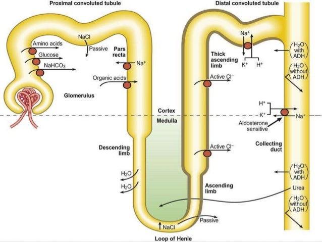 Carbonic >> Renal Tubular Acidosis