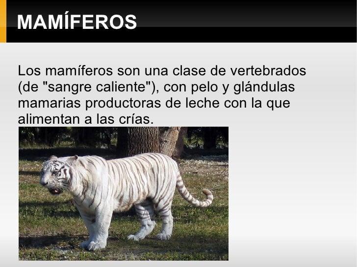 """MAMÍFEROS Los mamíferos son una clase de vertebrados  (de """"sangre caliente""""), con pelo y glándulas mamarias prod..."""