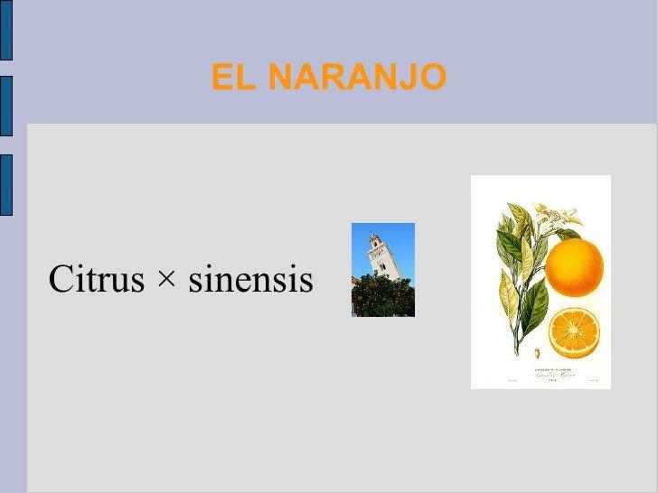 EL NARANJO Citrus × sinensis