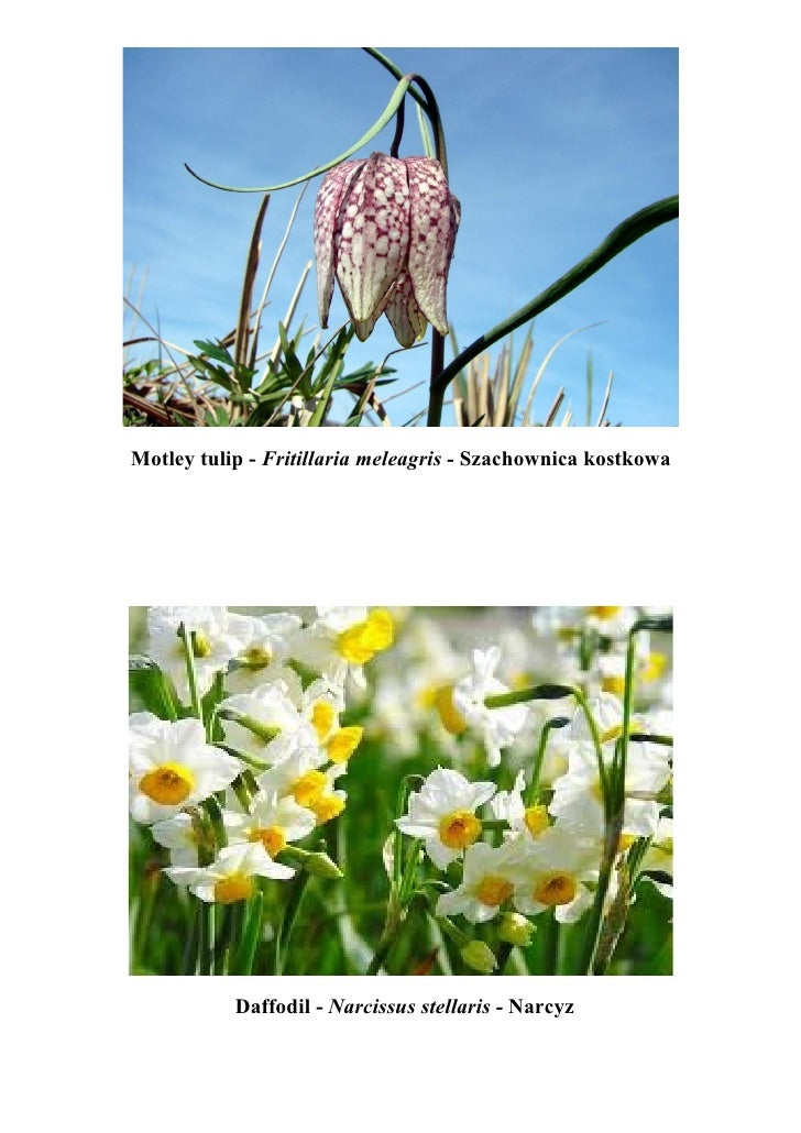 Motley tulip - Fritillaria meleagris - Szachownica kostkowa           Daffodil - Narcissus stellaris - Narcyz