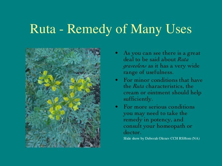 Ruta - Remedy of Many Uses <ul><li>As you can see there is a great deal to be said about  Ruta graveolens  as it has a ver...